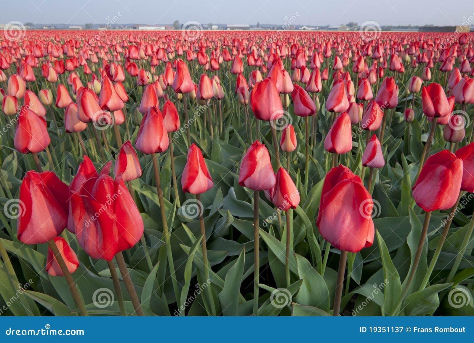 Campos holandeses do Tulip