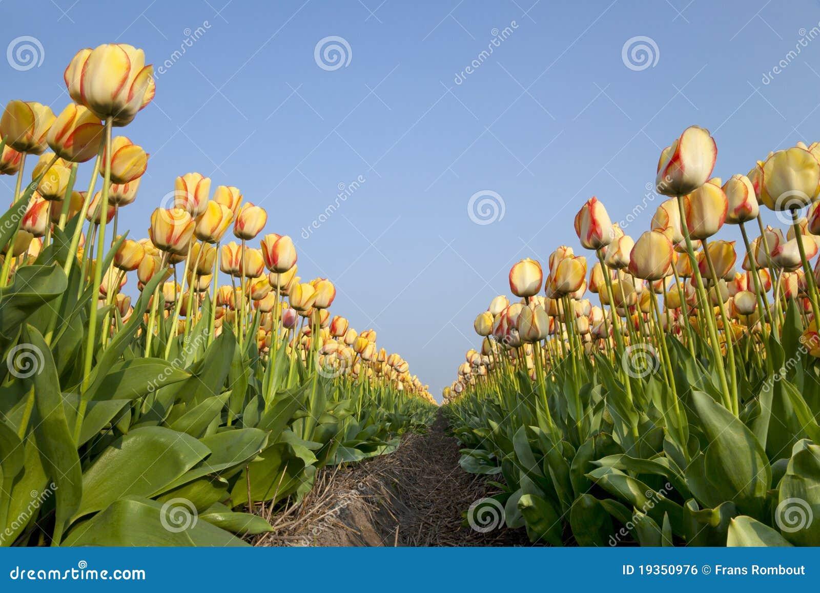 Campos holandeses do Tulip na primavera
