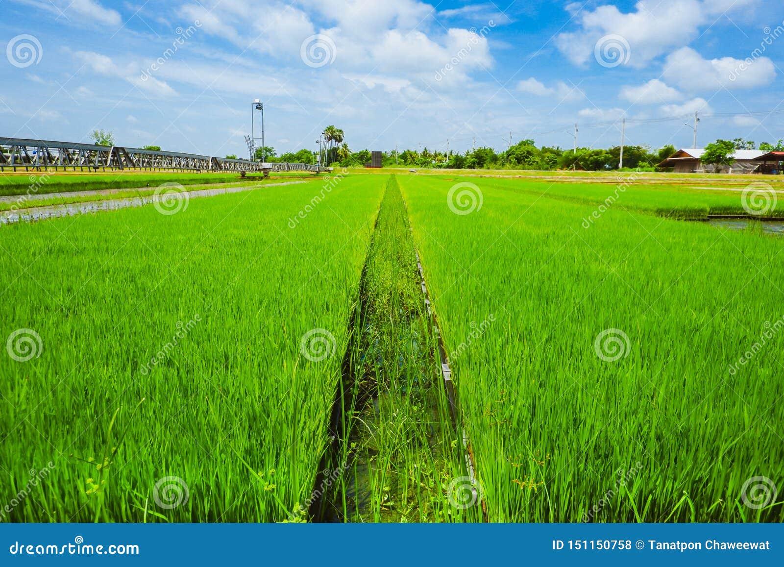 Campos tailandeses asiáticos do arroz com backgorund do céu azul