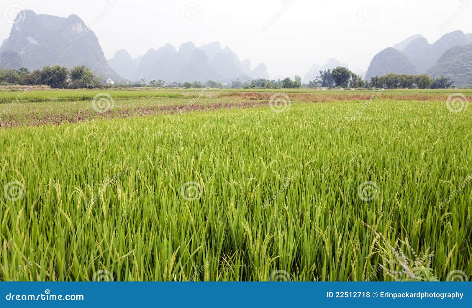 Campos verdes del arroz en Asia