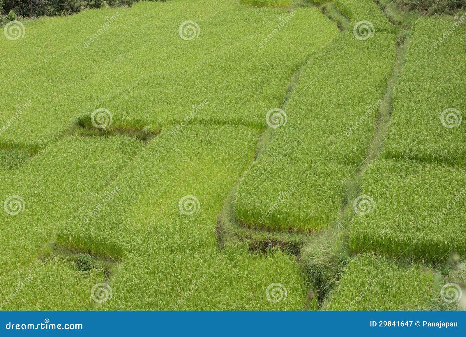 Campos do arroz.