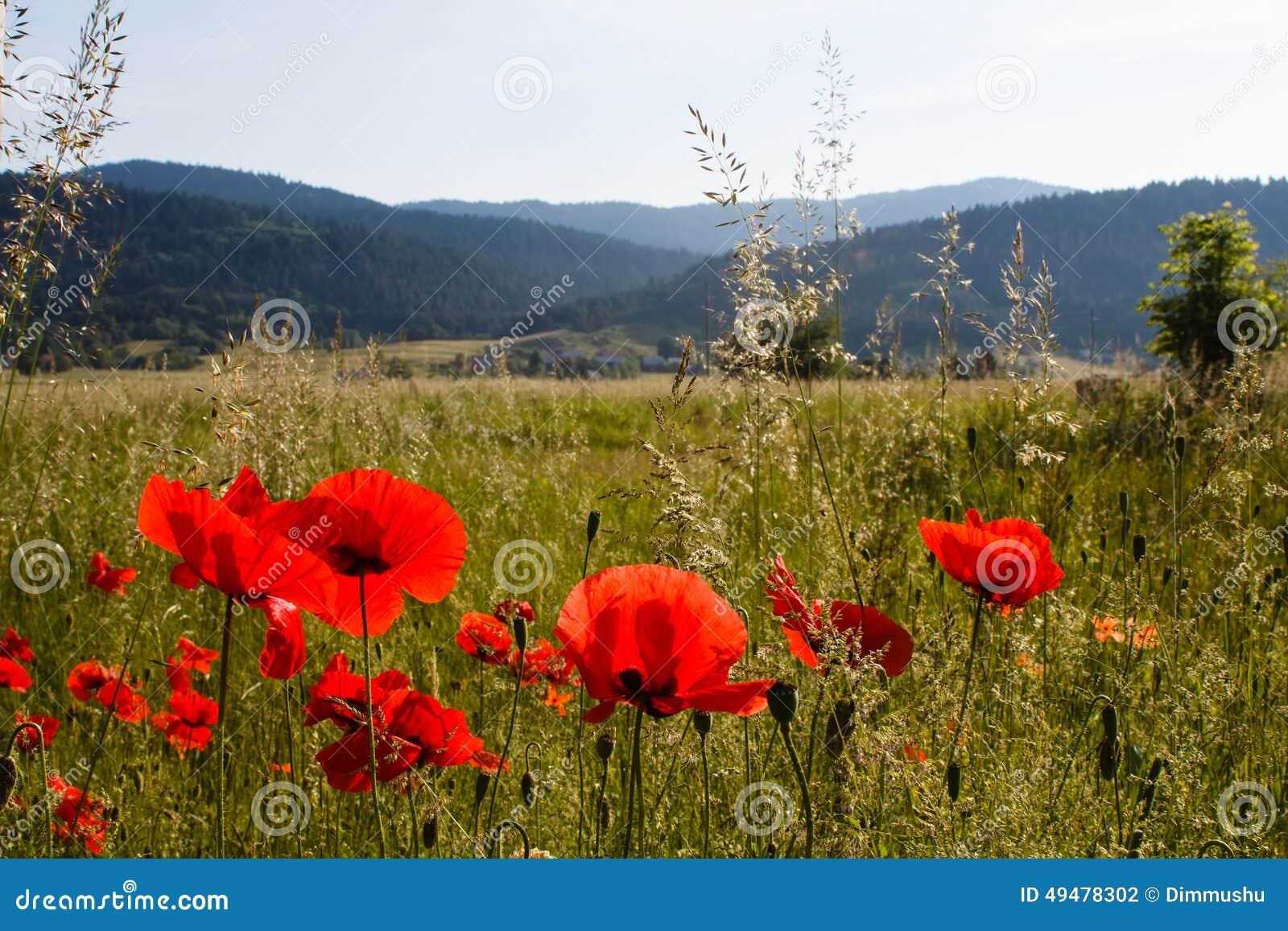 Campos vermelhos da papoila e outros gras verdes nas montanhas no campo na Croácia