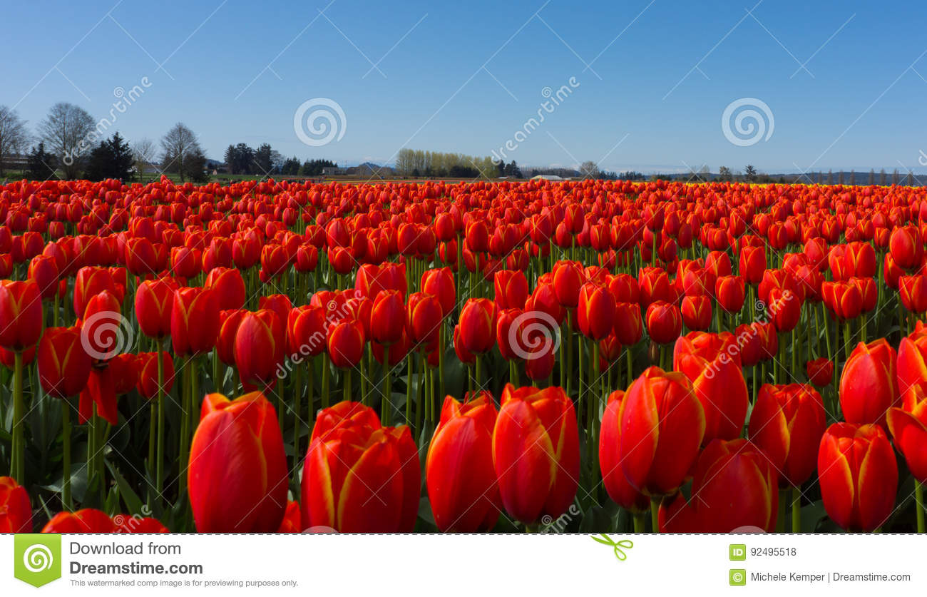Campos vermelhos do tulip