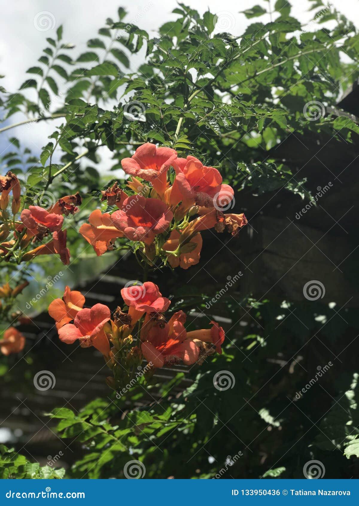 Campsis grandiflora, китайская лоза трубы