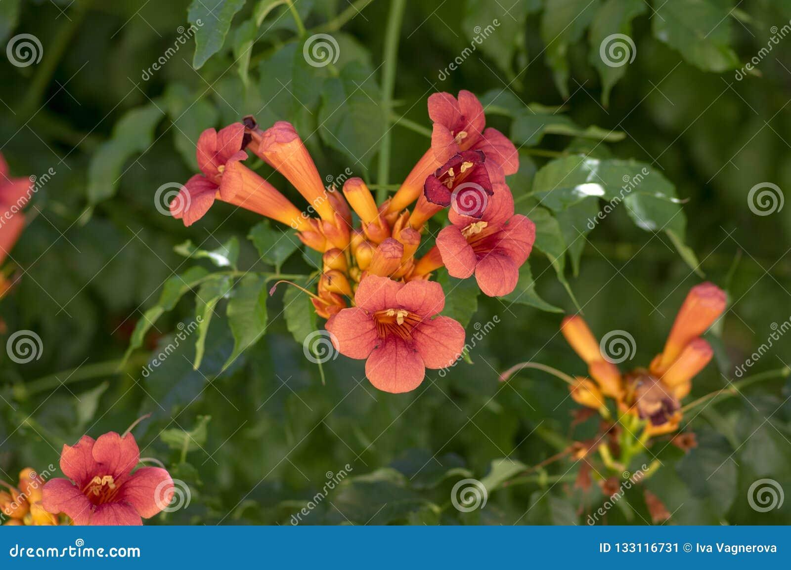 Campsis grandiflora orange gul blomma växt, grupp av blommor på buskefilialer i blom