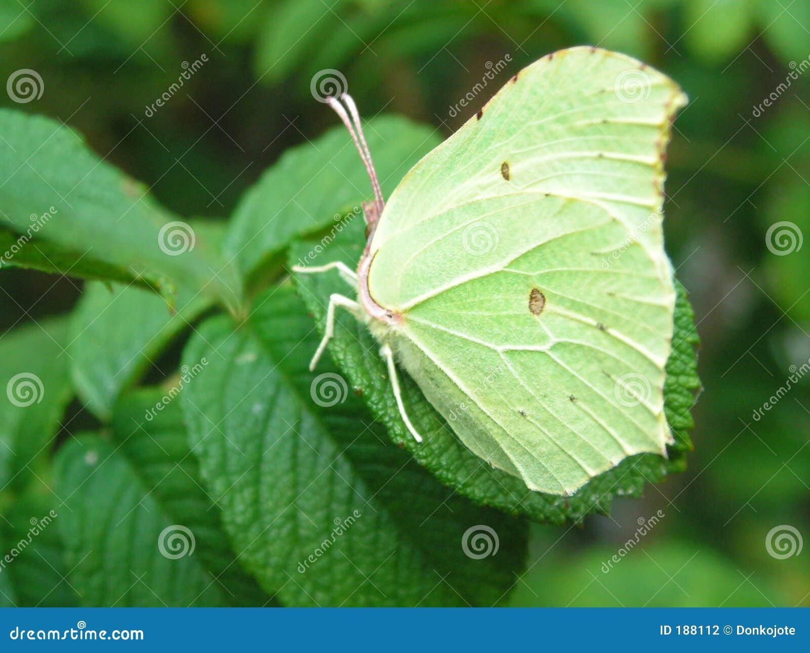 Camuflaje de la mariposa