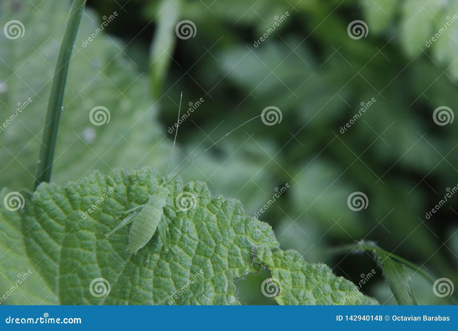 Camuflaje verde del insecto en la hoja verde con las antenas