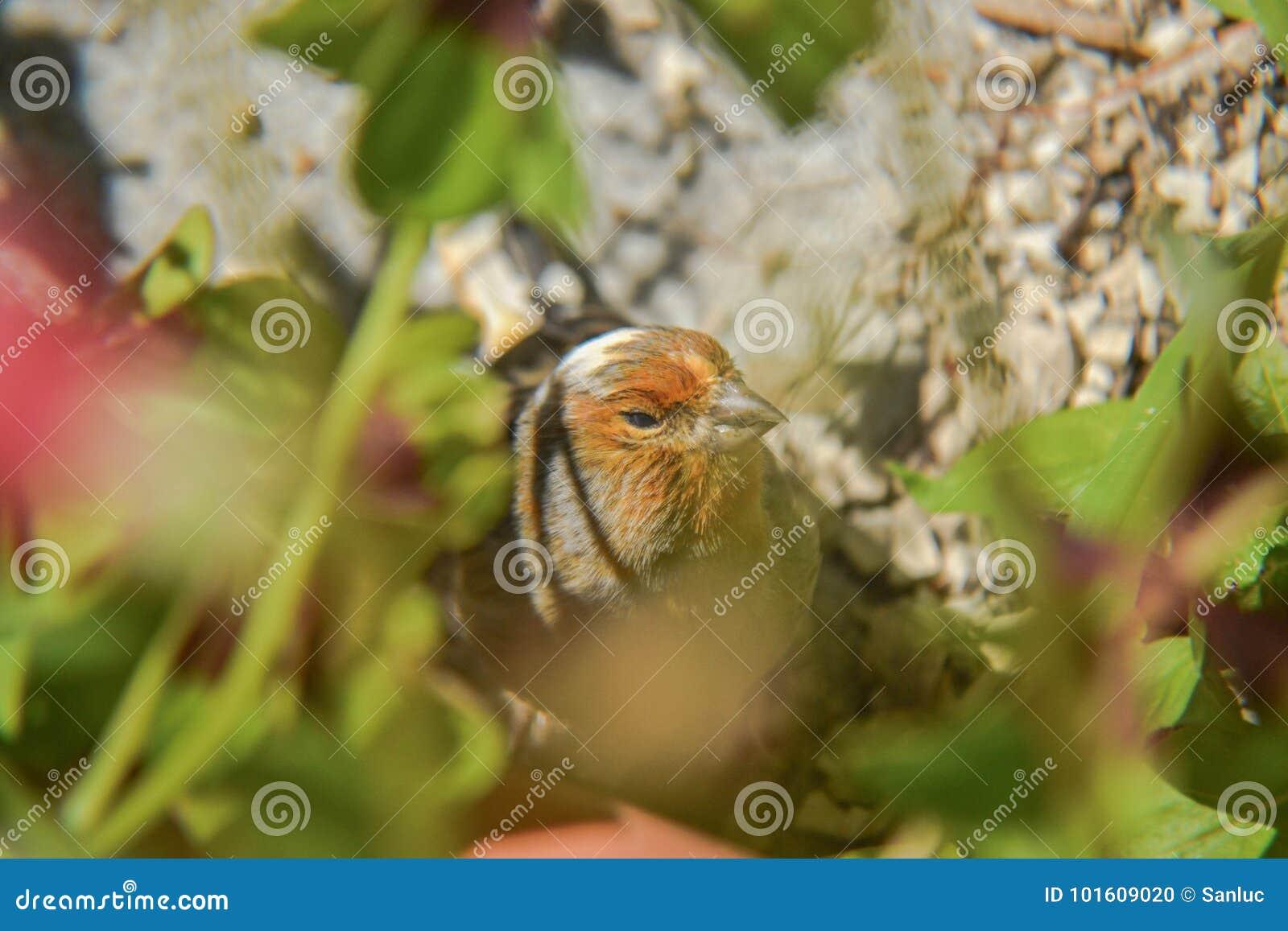 Canário alaranjado pequeno do pássaro escondido na grama