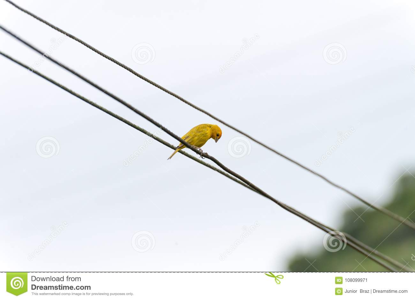 Canário amarelo empoleirado em uma linha elétrica elétrica