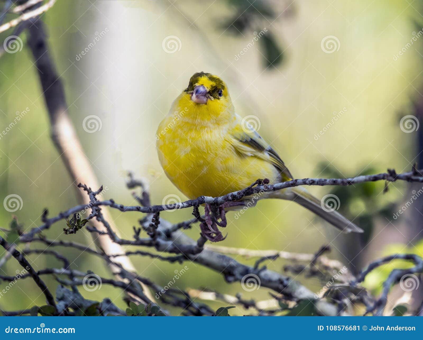Canário amarelo, flaviventris de Crithagra