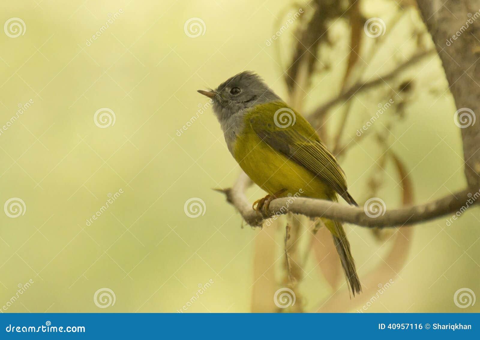 Canário-papa-moscas Cinzento-dirigido em seu habitat