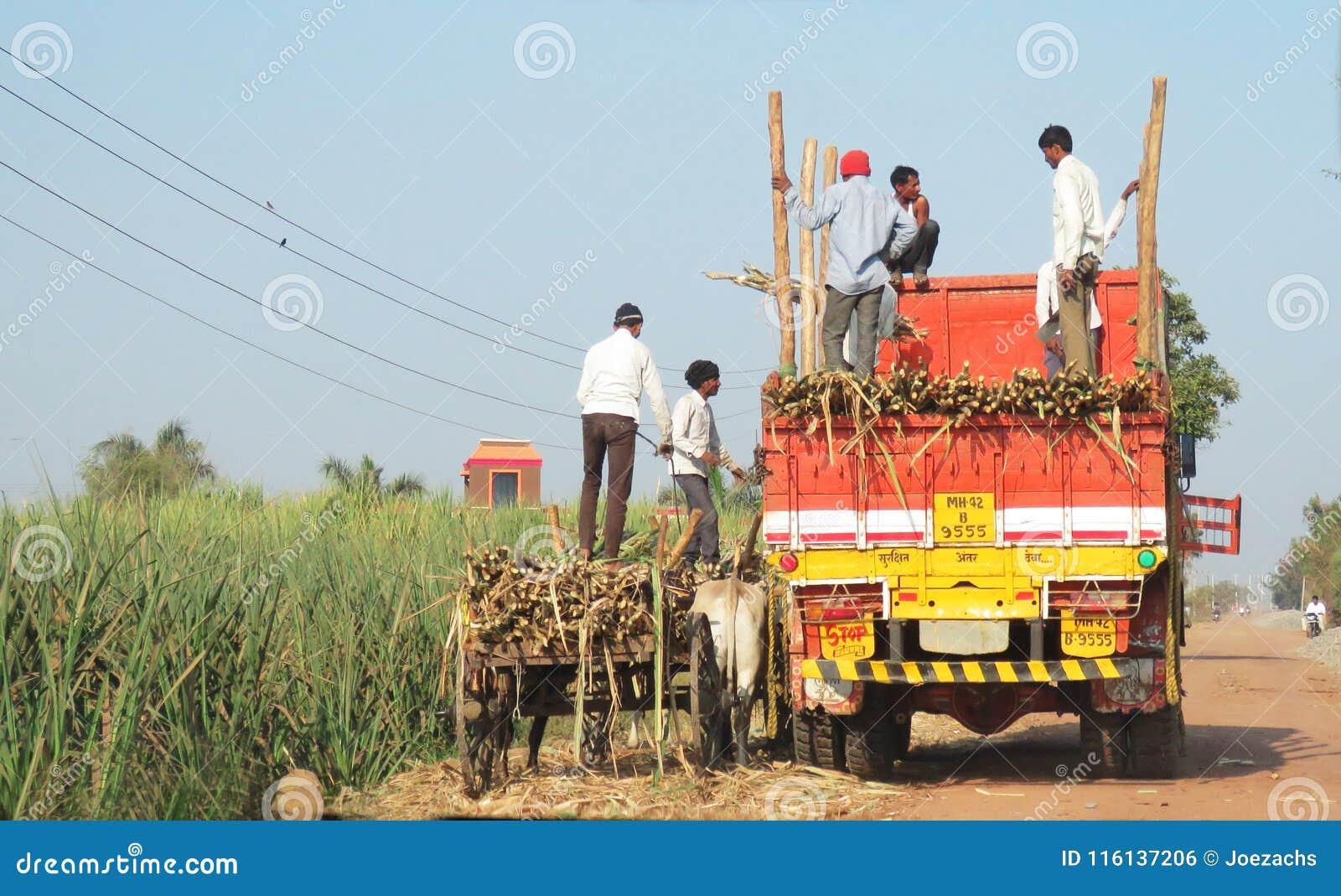 Cana-de-açúcar de transferência de um carro de boi a uma Índia ocidental do caminhão