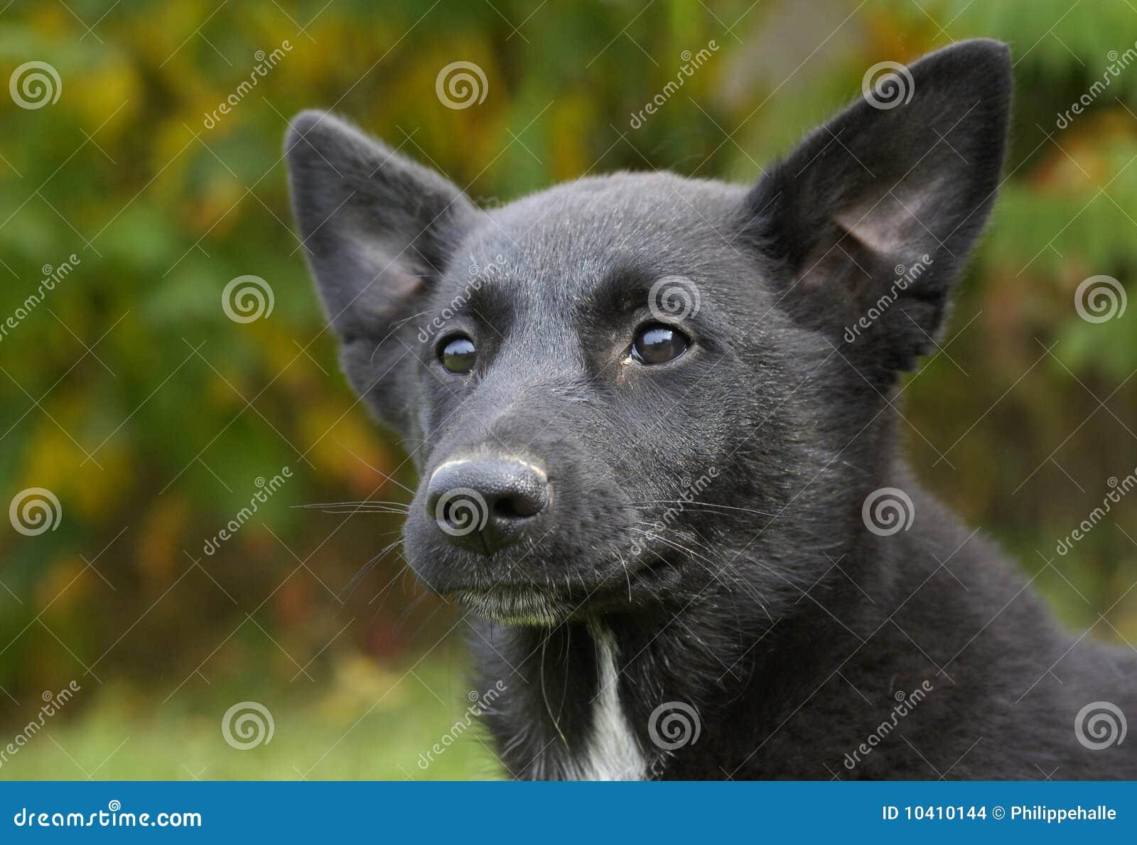 canaan dog price