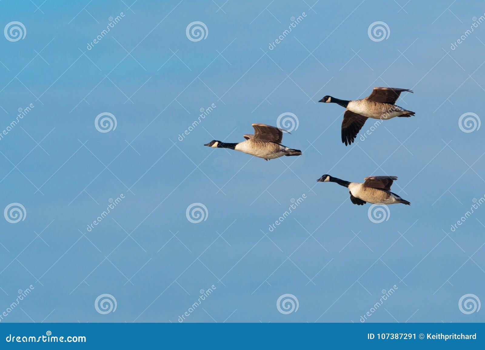 canada goose branta dorset