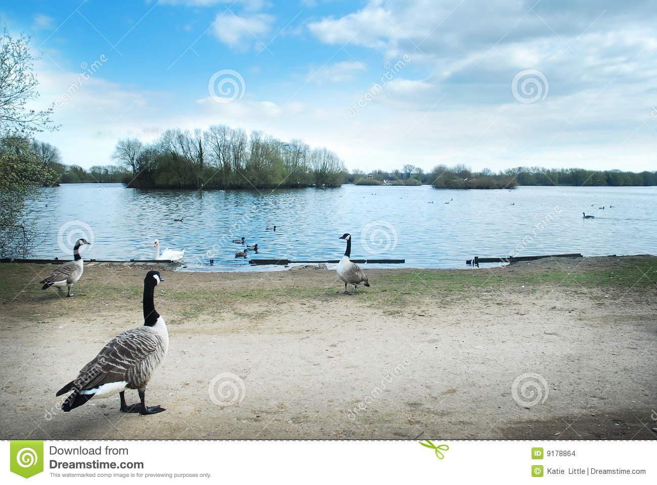 Canada geese on a lake