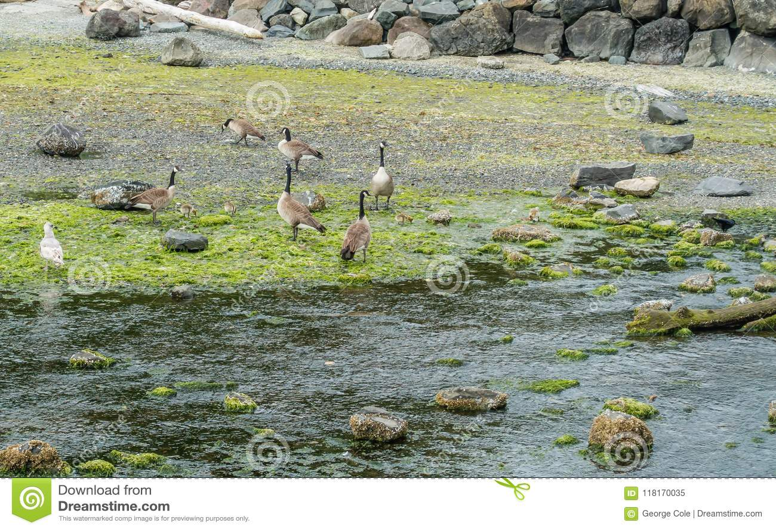Canada Geese Line The Shore In Des Moines Washington