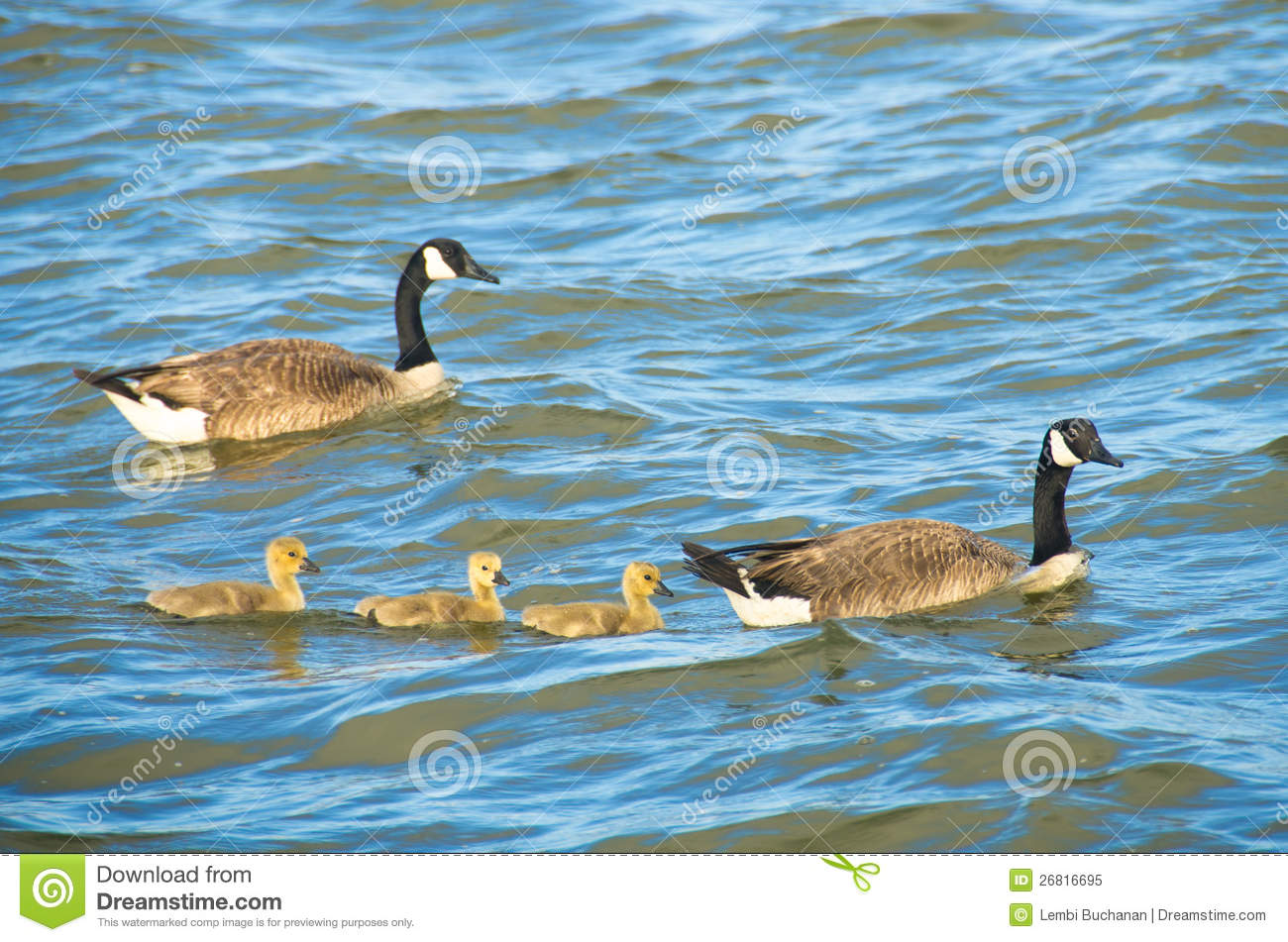 Canada geese swimming with goslings