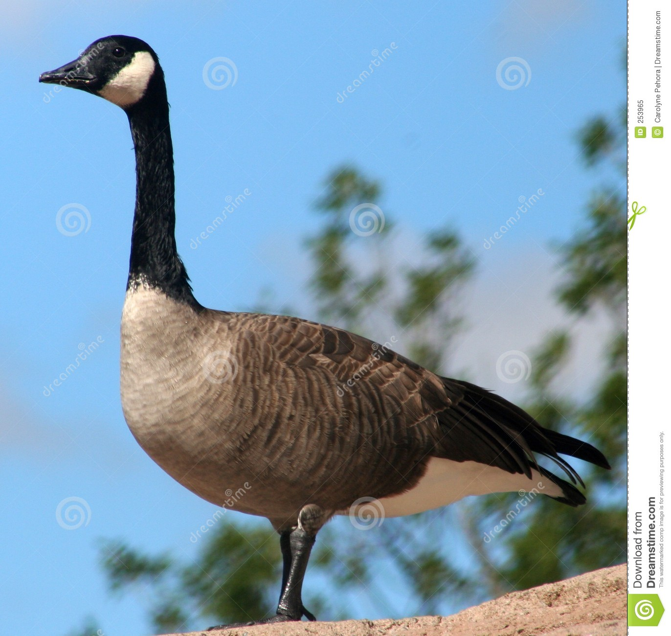 Download Canada Goose stock image. Image of black, bird, white, proud - 253965