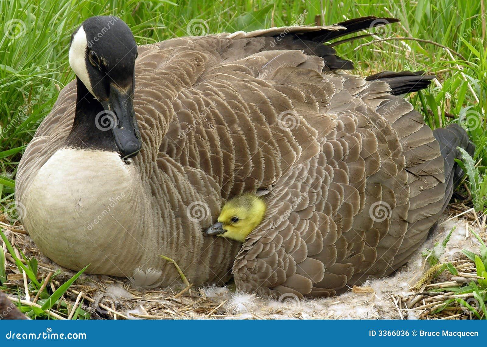 Canada Goose Royalty Free Stock Image - Image: 3366036