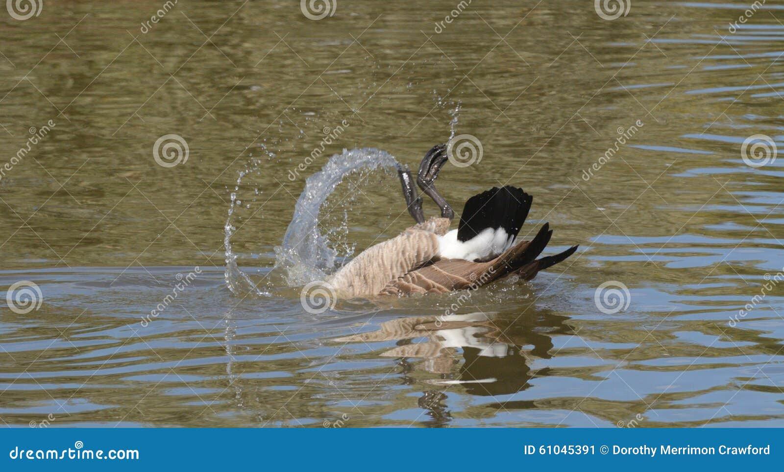 Canada Goose victoria parka online 2016 - Canada Goose Bathing Stock Photo - Image: 61045391