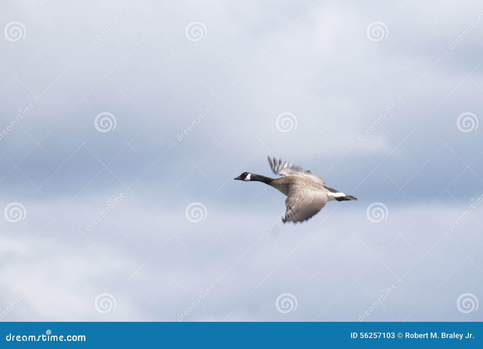 Download Canada Goose (Branta Canadensis) Stock Image - Image of british, female: 56257103