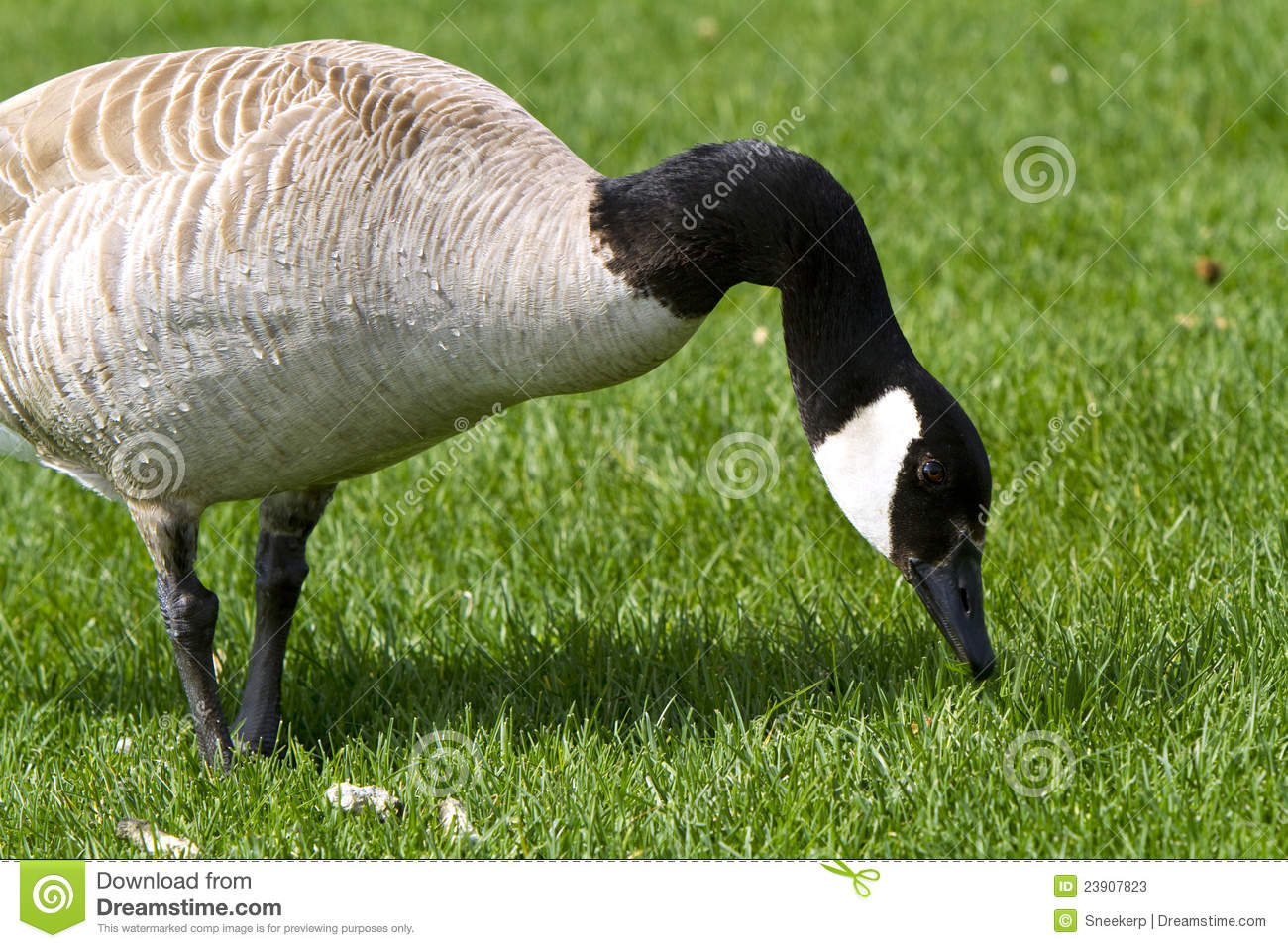 Image result for images of eating geese