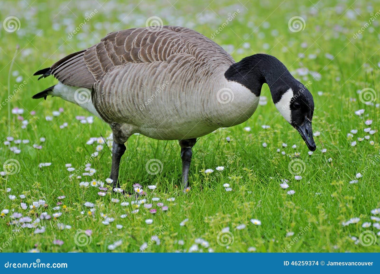 canada goose vancouver canada