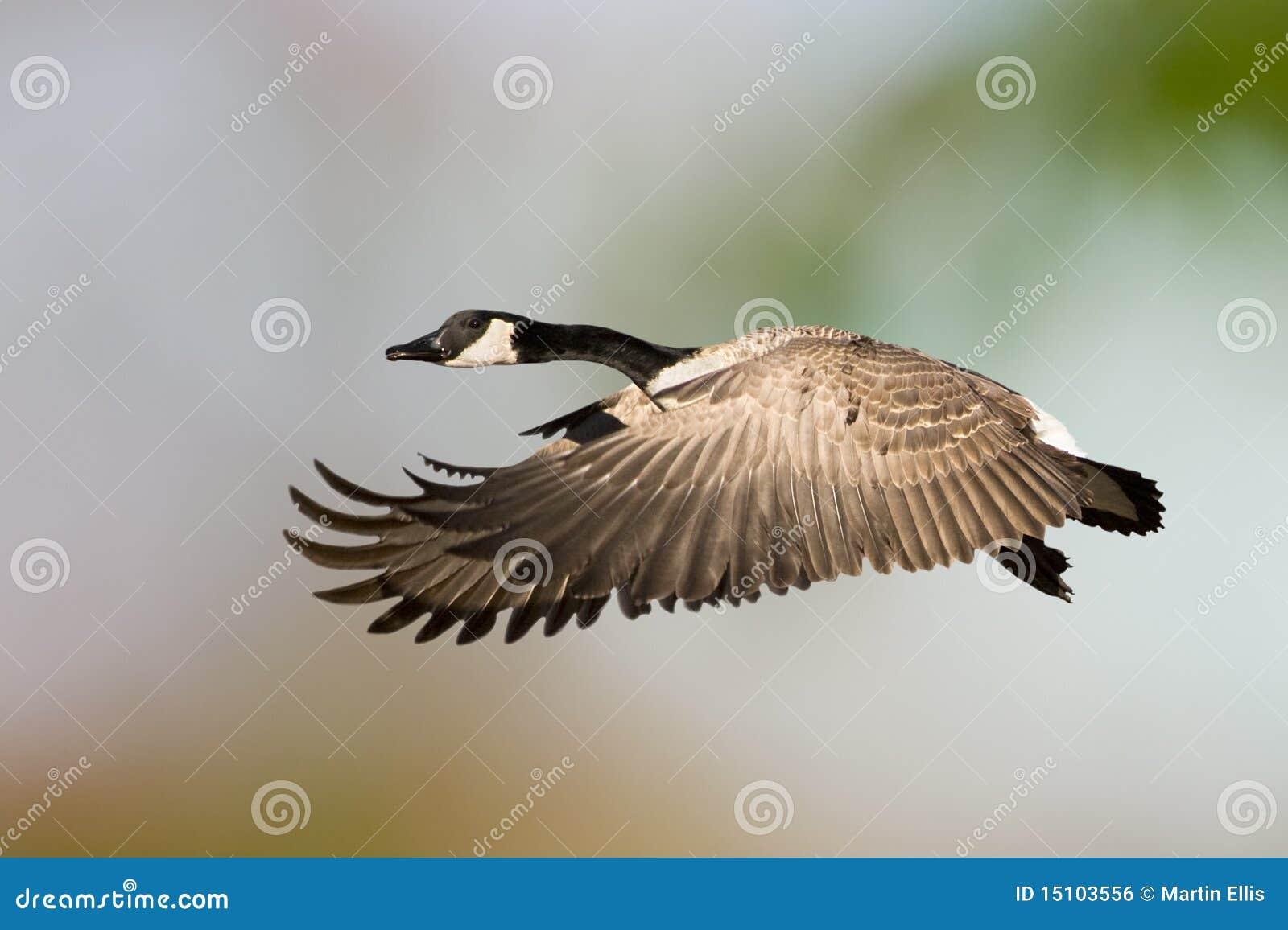 Lone canada goose stock image image of canadas canada 24990197 canada goose in flight royalty free stock image biocorpaavc