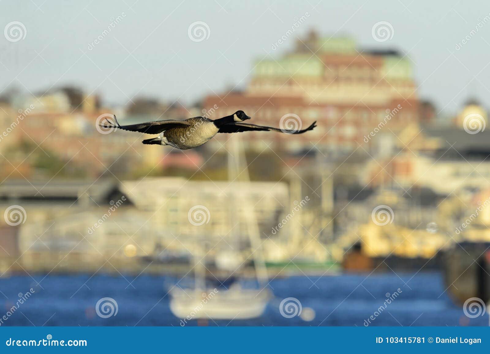 canada goose bristol