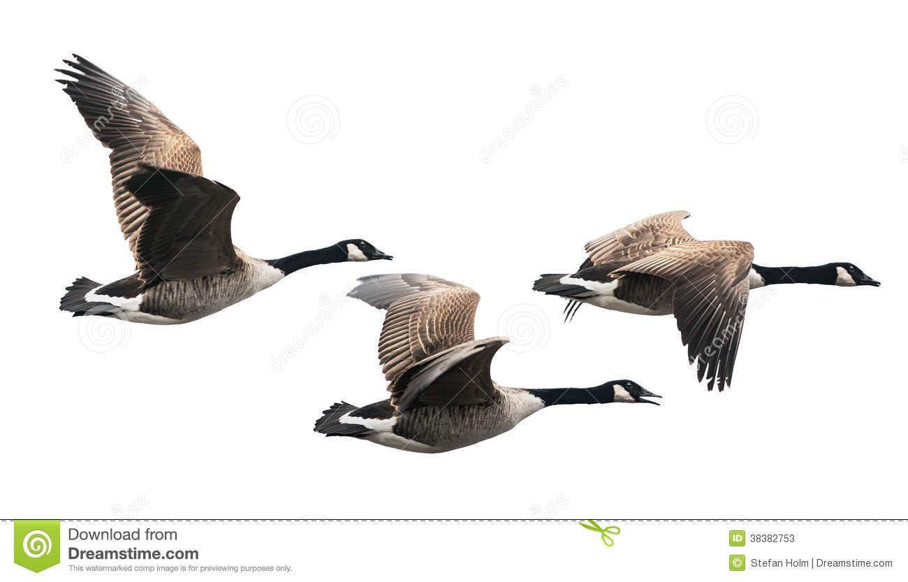 Canada Goose hats online price - Canada Goose Flying In Group Stock Photos - Image: 38382753