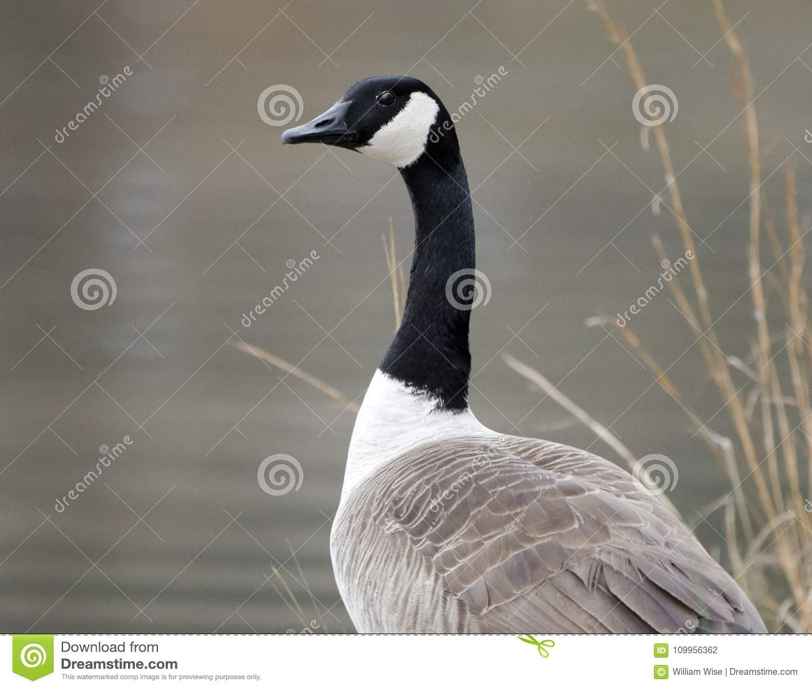 canada goose usa