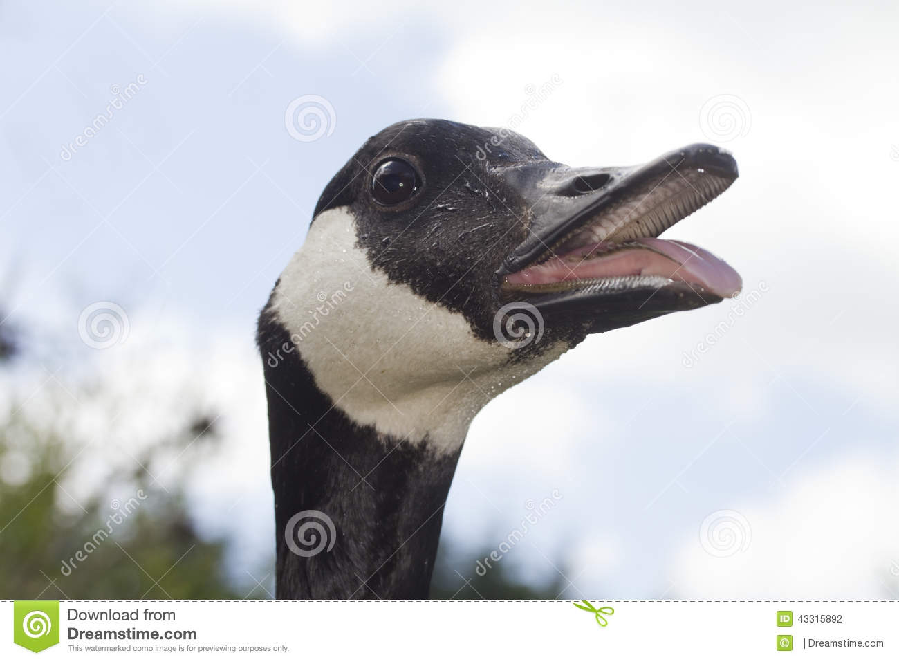 Canada goose hissing mouth open stock photo image of black bird canada goose hissing mouth open biocorpaavc