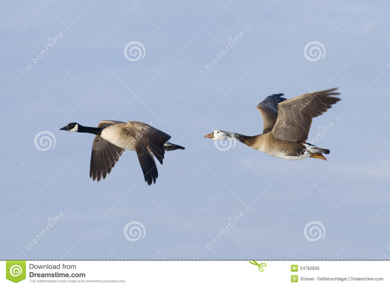 canada goose and hybrid goose stock photo