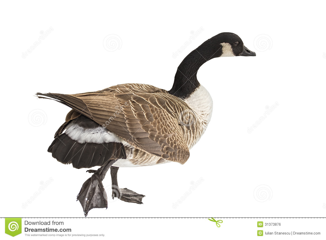 The Canada Goose Royalty Free Stock Image Image 31373876