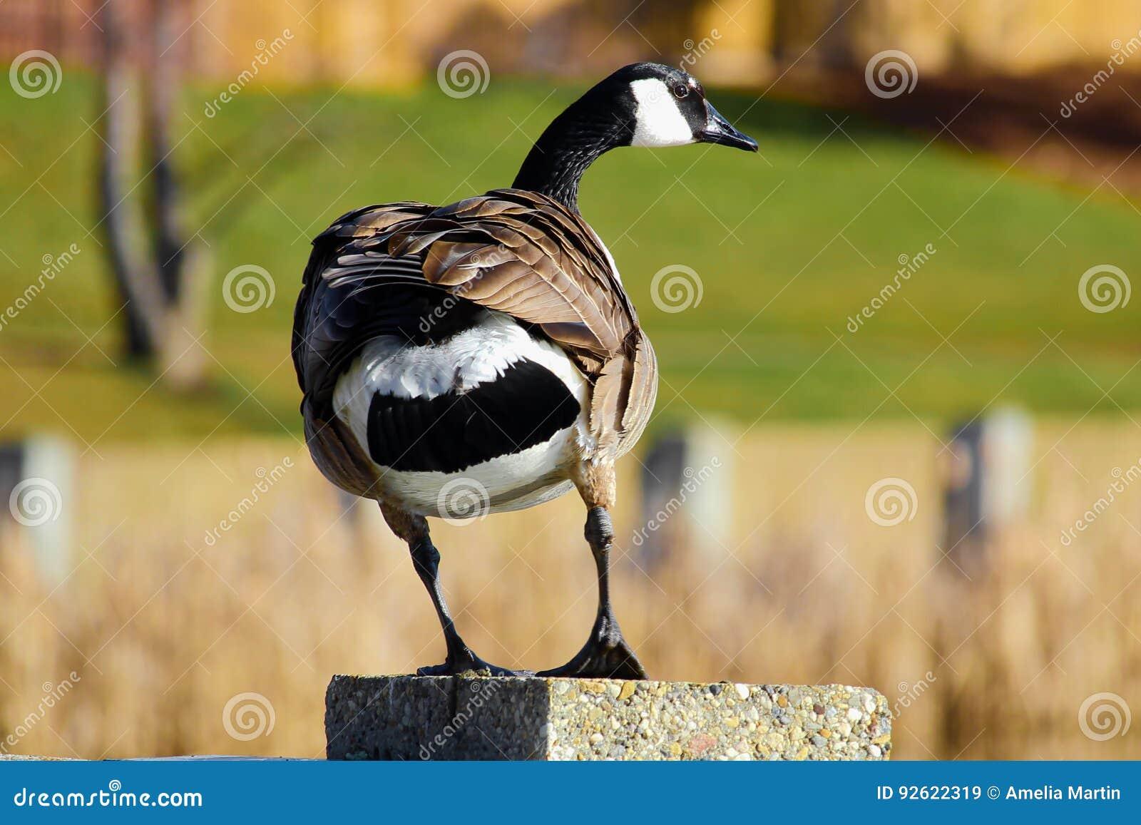 Canada Goose Hunting Pics Cartoon