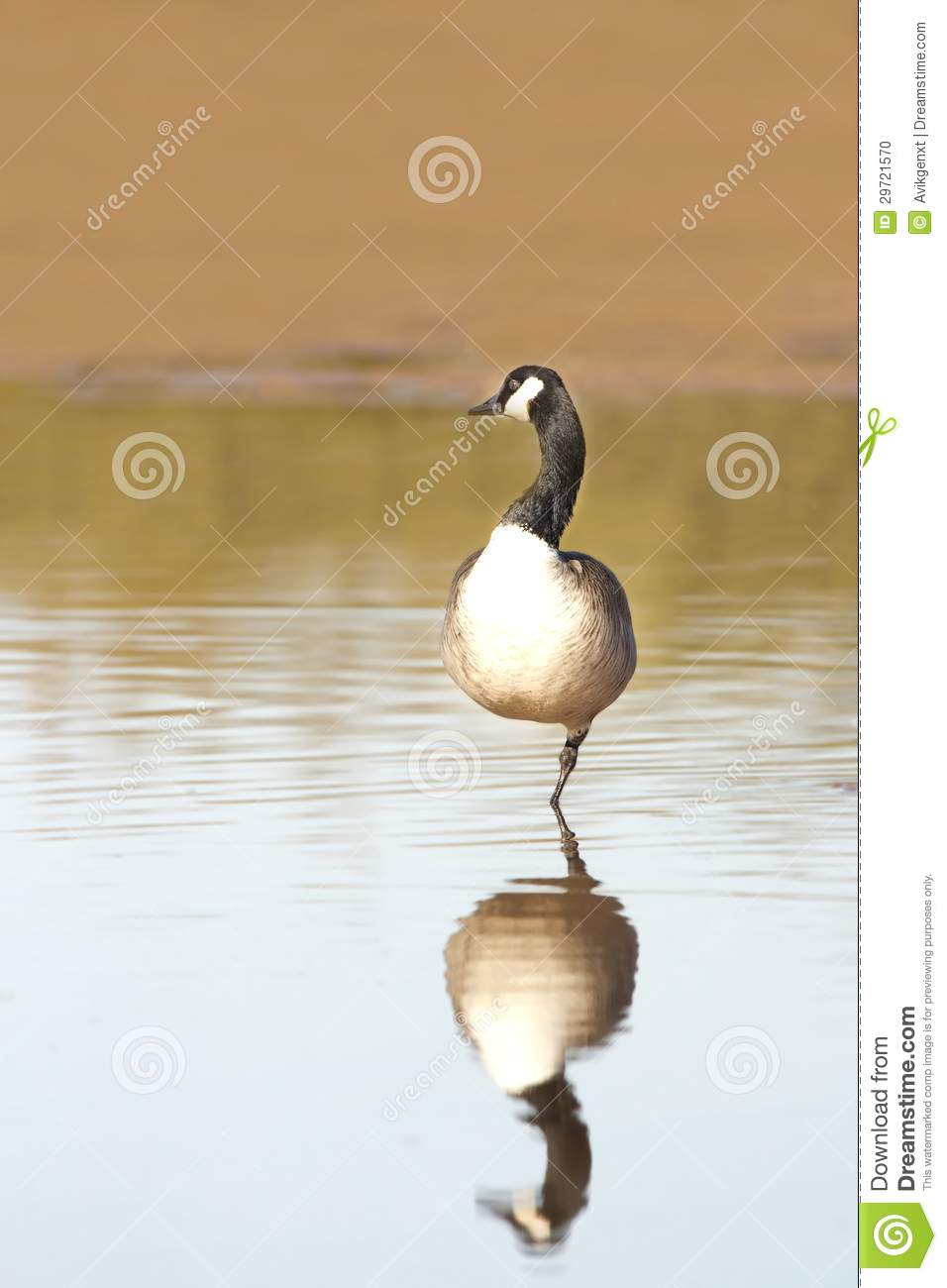 canada goose stock photo image 29721570