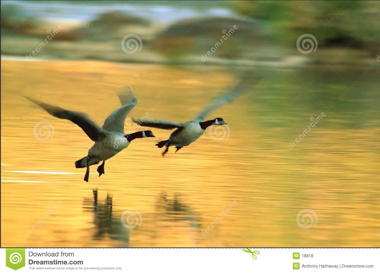 Canadas in flight