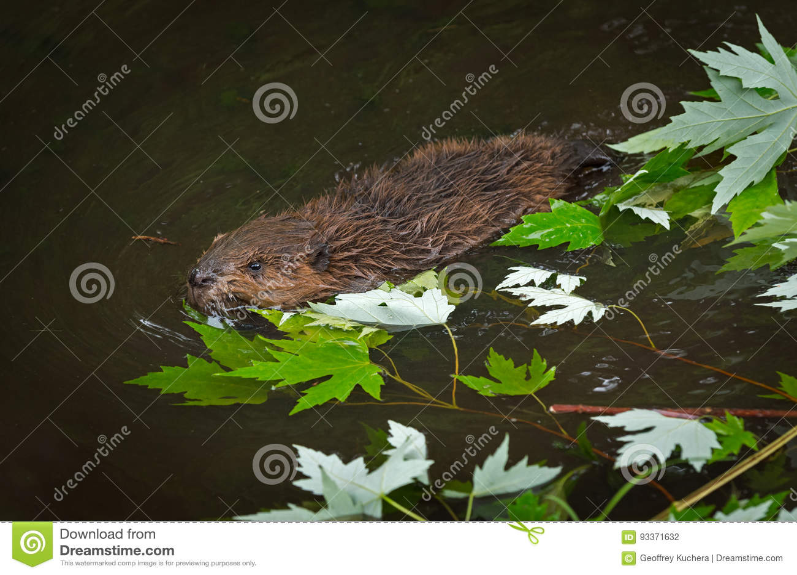 Canadensis norte-americano Kit Swims Past Leaves do rodízio do castor