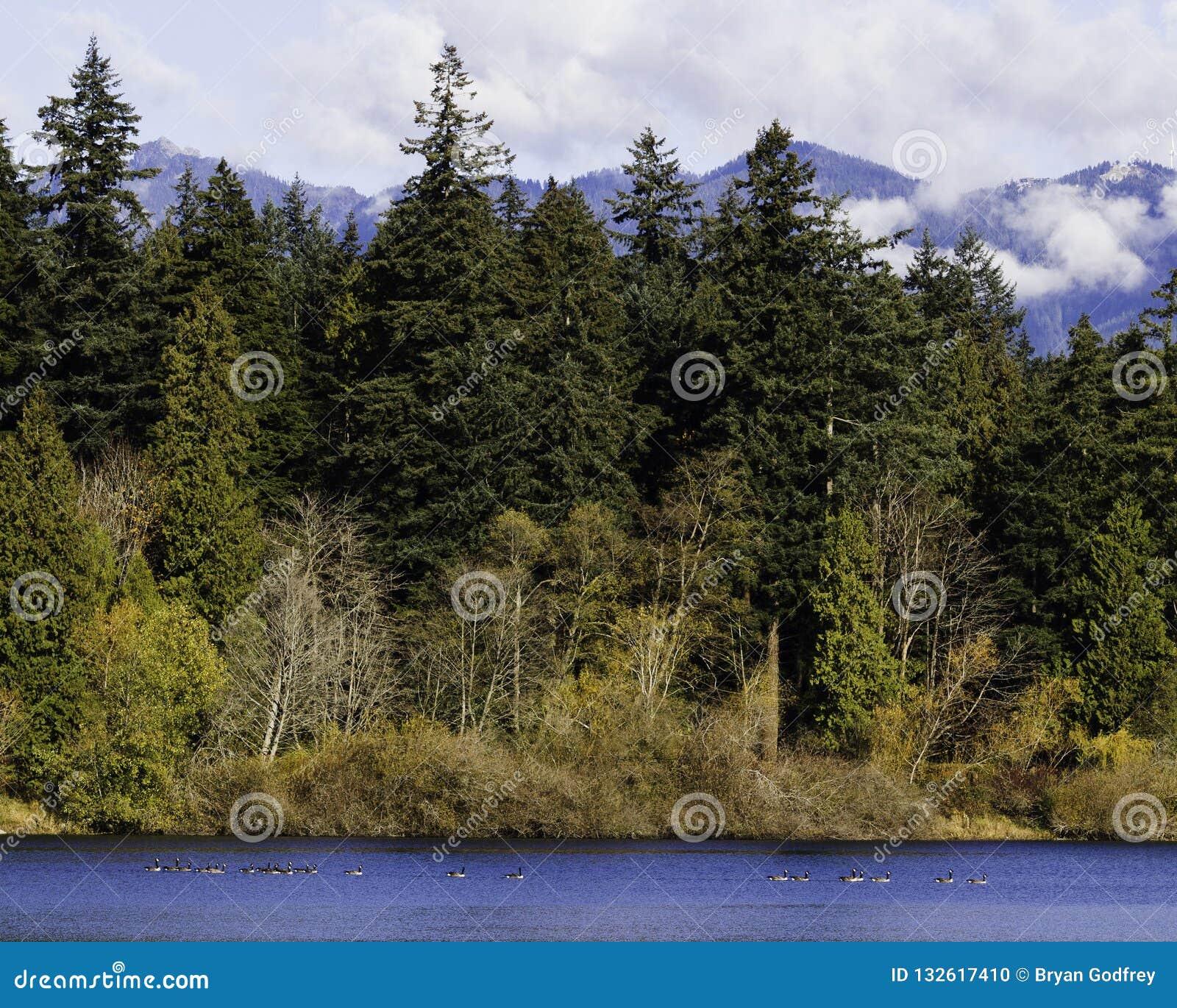 Canadese ganzen op een vijver met bos en berg op de achtergrond