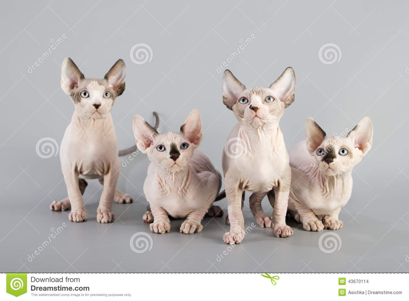 Canadese sphynxkat