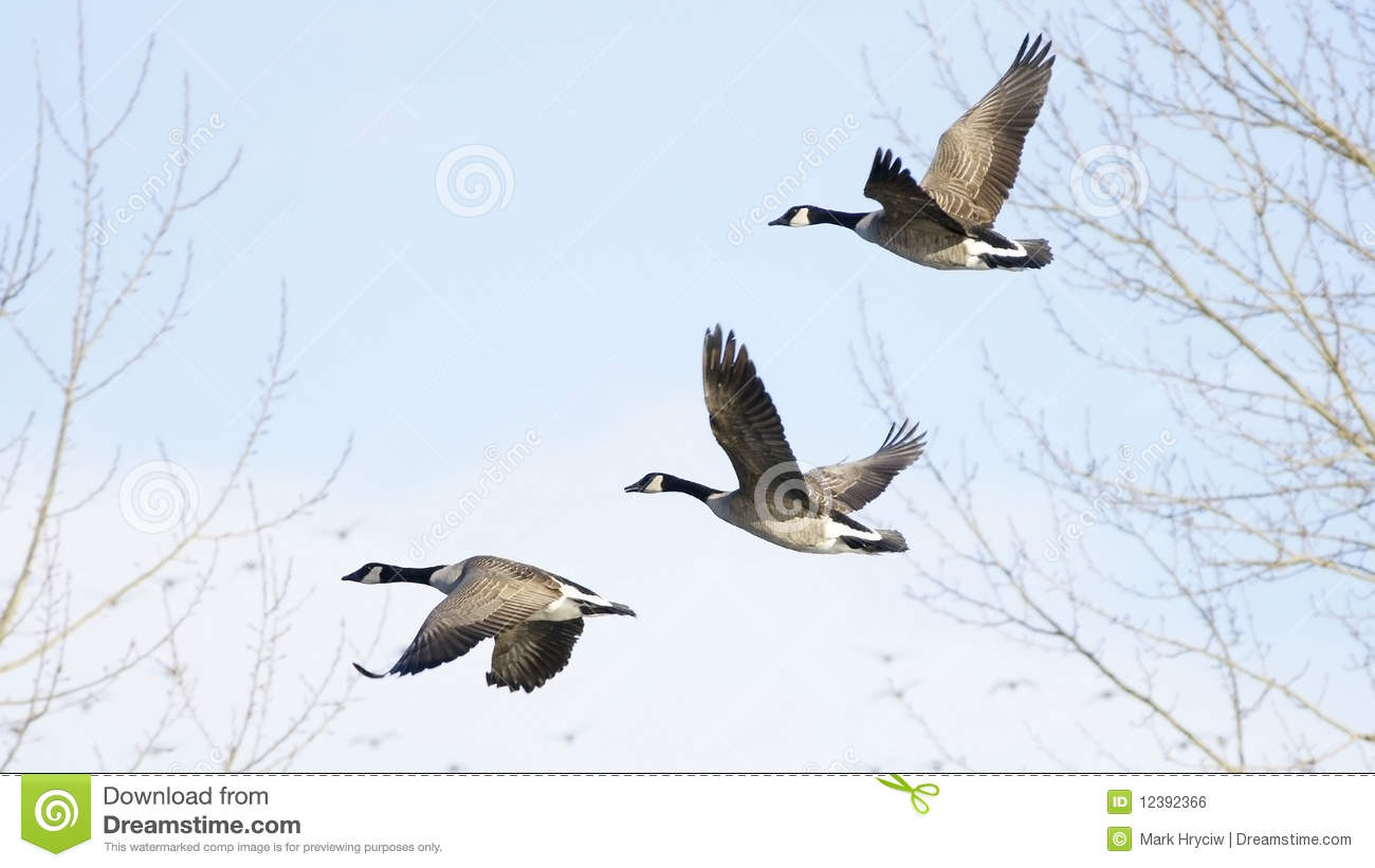 Download Canadian Geese stock photo. Image of together, flight - 12392366