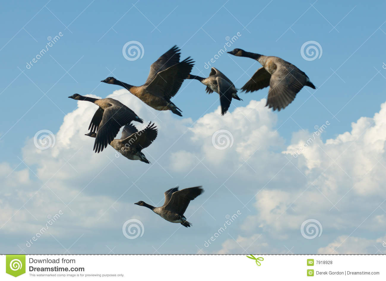 Canada Goose kensington parka sale discounts - Canadian Geese In V Formation Royalty Free Stock Image - Image ...