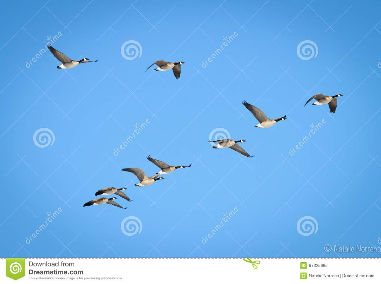 Canadian Geese In V Formation Royalty Free Stock Image - Image ...