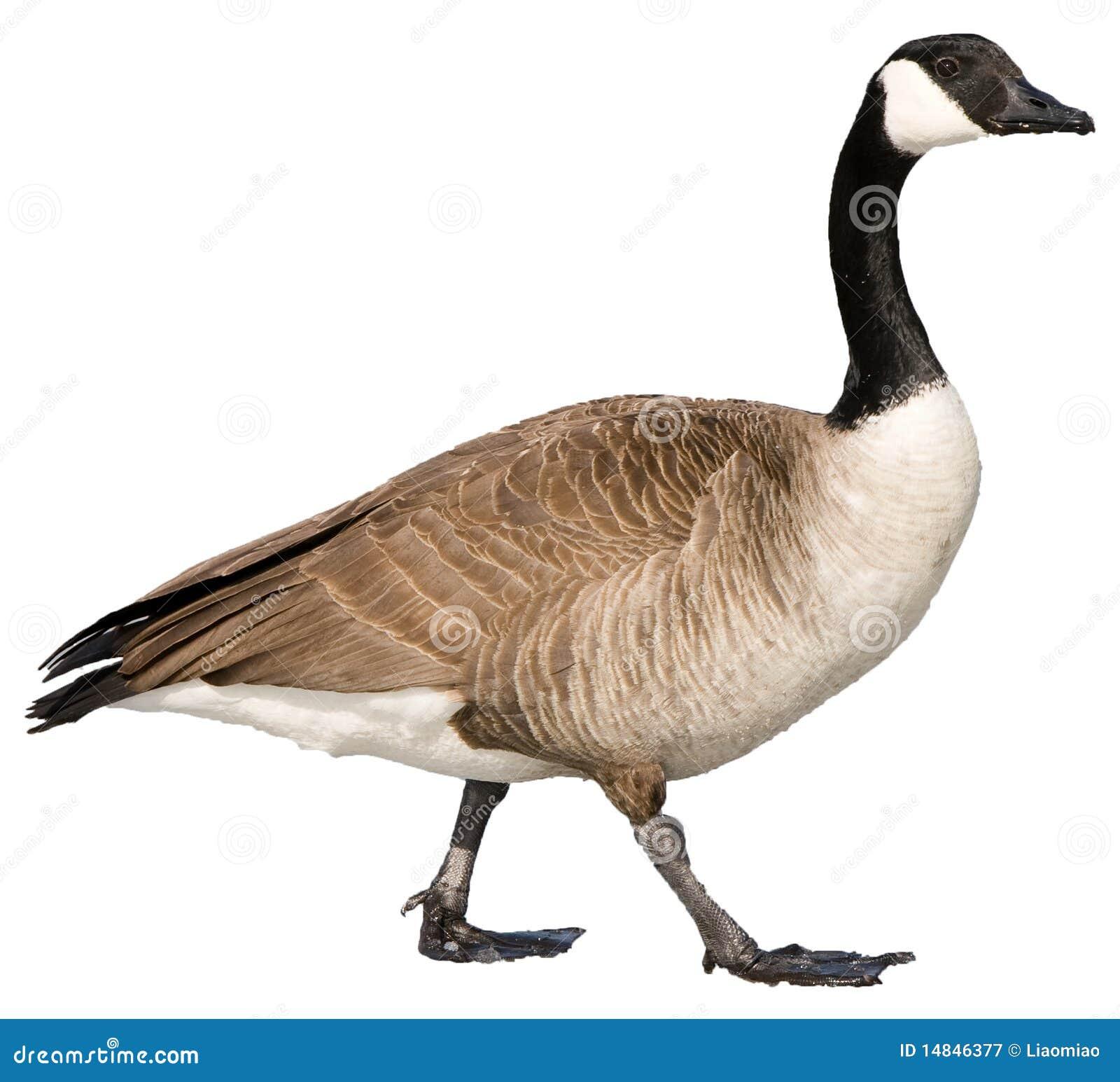 Download Canadian Goose stock image. Image of ducks, animal, fowl - 14846377