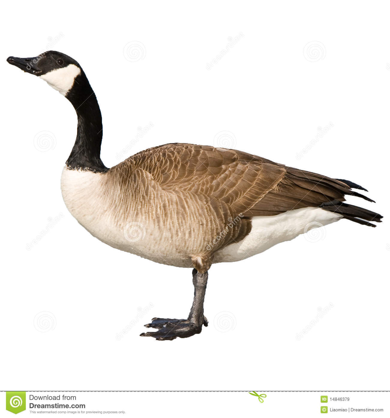 Download Canadian Goose stock image. Image of canada, geese, graze - 14846379
