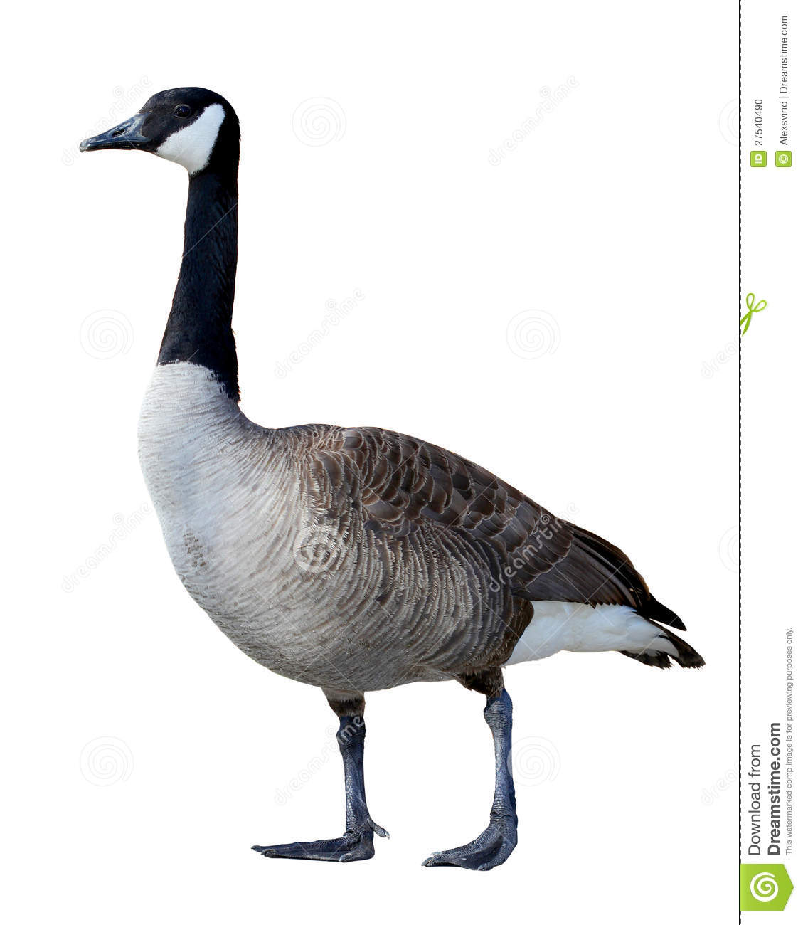 picture of a Canadian Goose that is isolated on white background.