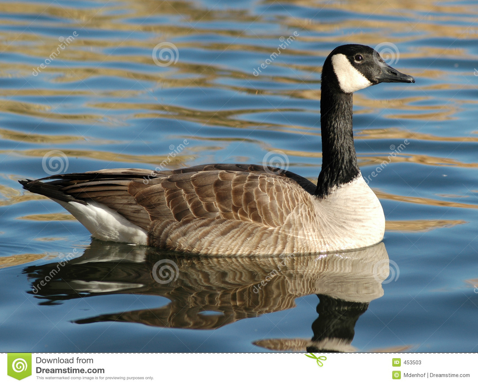 Download Canadian Goose stock image. Image of animal, swim, bill - 453503