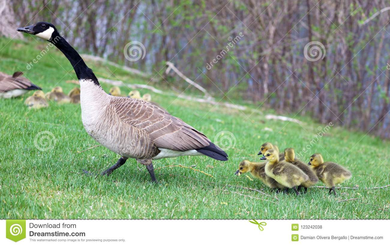 Canadian goose with chicks, geese with goslings walking in green grass in Michigan during spring.