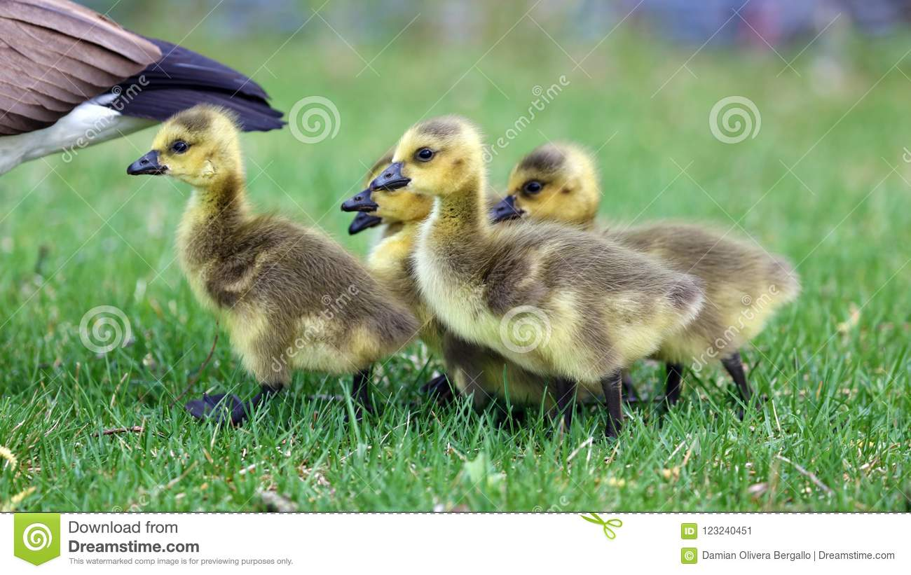 Download Canadian Goose With Chicks, Geese With Goslings Walking In Green Grass In Michigan During Spring. Stock Image - Image of days, bounding: 123240451