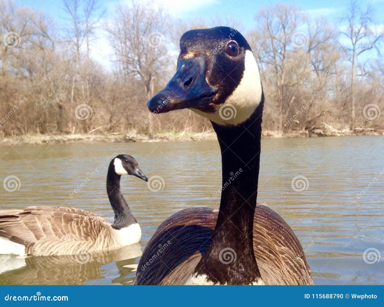 Canadian goose close-up